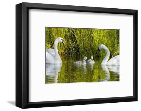 Two Mute Swans, Cygnus Olor, Look over their Two Cygnets-Paul Colangelo-Framed Art Print