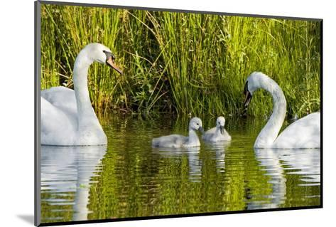 Two Mute Swans, Cygnus Olor, Look over their Two Cygnets-Paul Colangelo-Mounted Photographic Print