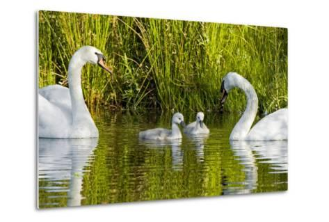 Two Mute Swans, Cygnus Olor, Look over their Two Cygnets-Paul Colangelo-Metal Print