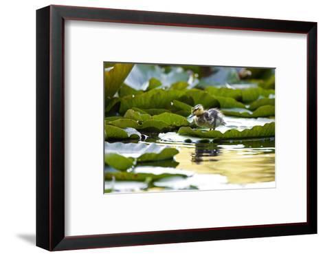 Mallard Ducklings, Anas Platyrhynchos, Walk across Lily Pads-Paul Colangelo-Framed Art Print
