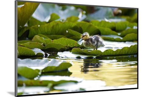 Mallard Ducklings, Anas Platyrhynchos, Walk across Lily Pads-Paul Colangelo-Mounted Photographic Print