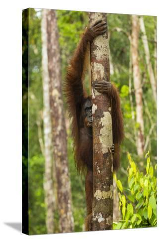 A Bornean Orangutan, Pongo Pygmaeus, Clinging to a Tree Trunk-Ralph Lee Hopkins-Stretched Canvas Print