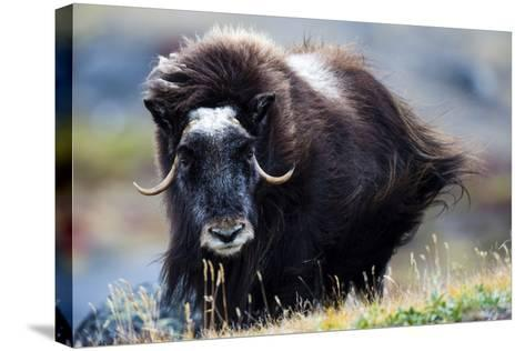 Strong Arctic Winds Send the Shaggy Coat of a Musk Ox Flying-Jason Edwards-Stretched Canvas Print