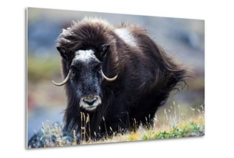 Strong Arctic Winds Send the Shaggy Coat of a Musk Ox Flying-Jason Edwards-Metal Print
