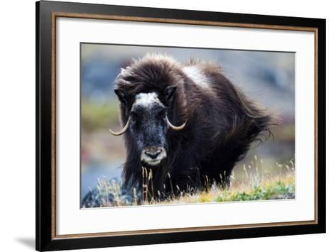 Strong Arctic Winds Send the Shaggy Coat of a Musk Ox Flying-Jason Edwards-Framed Art Print