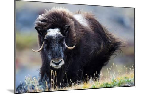 Strong Arctic Winds Send the Shaggy Coat of a Musk Ox Flying-Jason Edwards-Mounted Photographic Print