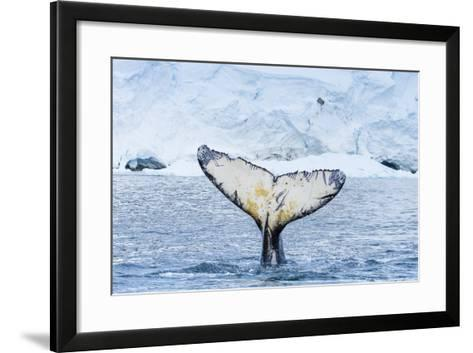 A Humpback Whale Tail Near Paradise Harbor, Antarctica-Ralph Lee Hopkins-Framed Art Print