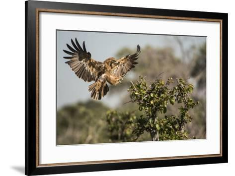 A Tawny Eagle Preparing to Land in a Tree Top-Bob Smith-Framed Art Print