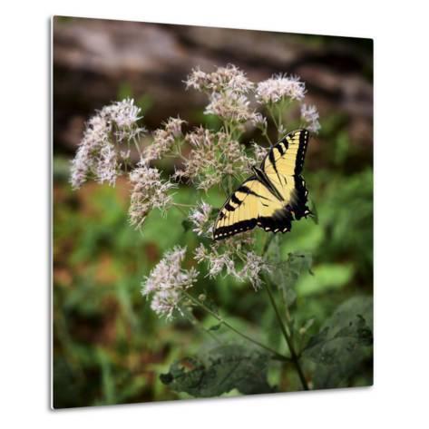 Portrait of an Eastern Tiger Swallowtail Butterfly on a Wildflower-Amy, Al White, Petteway-Metal Print