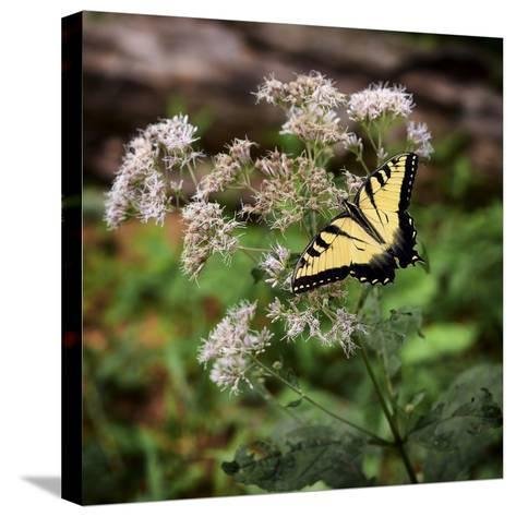 Portrait of an Eastern Tiger Swallowtail Butterfly on a Wildflower-Amy, Al White, Petteway-Stretched Canvas Print