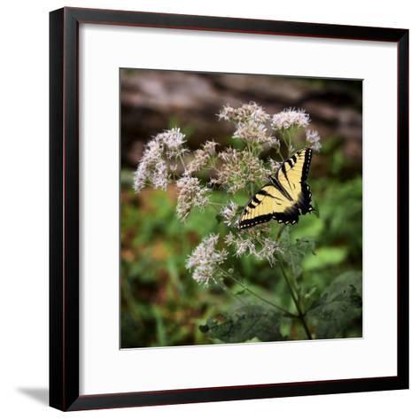Portrait of an Eastern Tiger Swallowtail Butterfly on a Wildflower-Amy, Al White, Petteway-Framed Art Print