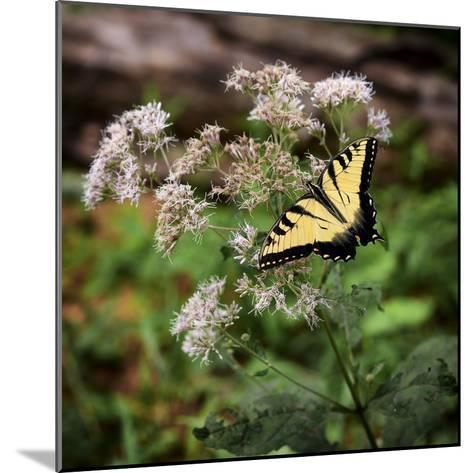 Portrait of an Eastern Tiger Swallowtail Butterfly on a Wildflower-Amy, Al White, Petteway-Mounted Photographic Print