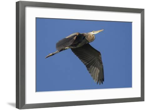 A Great Blue Heron, Ardea Herodias, in Flight Above the Occoquan River-Kent Kobersteen-Framed Art Print