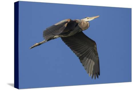 A Great Blue Heron, Ardea Herodias, in Flight Above the Occoquan River-Kent Kobersteen-Stretched Canvas Print