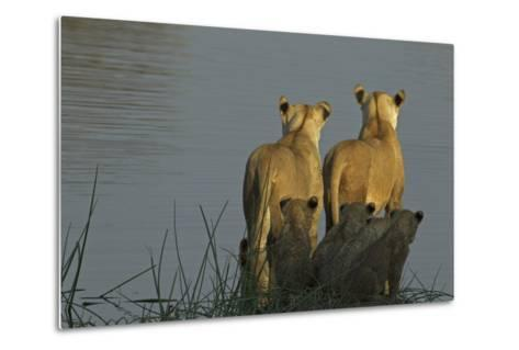 Two Lioness Preparing to Cross a Spillway as their Cubs Sit in the Reeds and Watch-Beverly Joubert-Metal Print
