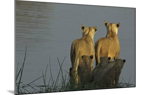 Two Lioness Preparing to Cross a Spillway as their Cubs Sit in the Reeds and Watch-Beverly Joubert-Mounted Photographic Print