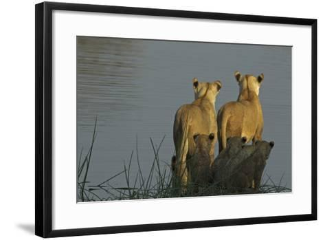 Two Lioness Preparing to Cross a Spillway as their Cubs Sit in the Reeds and Watch-Beverly Joubert-Framed Art Print