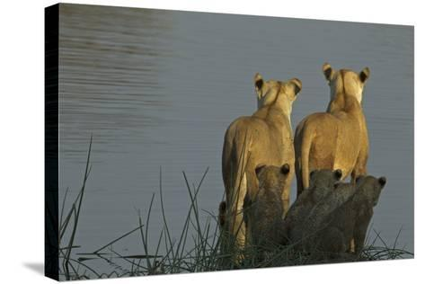 Two Lioness Preparing to Cross a Spillway as their Cubs Sit in the Reeds and Watch-Beverly Joubert-Stretched Canvas Print