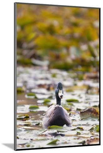 A Mallard, Anas Platyrhynchos, Floats Among Lily Pads-Paul Colangelo-Mounted Photographic Print