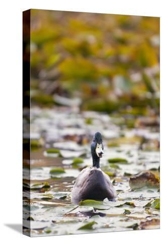 A Mallard, Anas Platyrhynchos, Floats Among Lily Pads-Paul Colangelo-Stretched Canvas Print