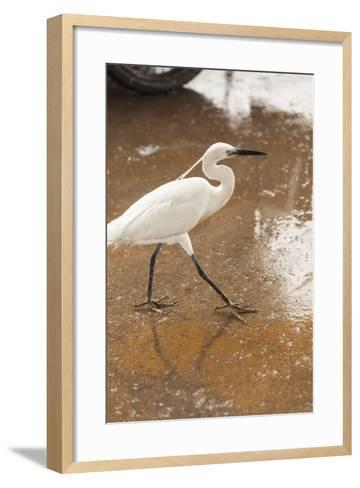 White Egret Walks around the Old Port of Casablanca-Richard Nowitz-Framed Art Print
