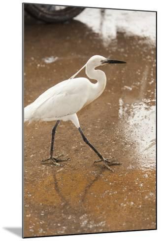 White Egret Walks around the Old Port of Casablanca-Richard Nowitz-Mounted Photographic Print