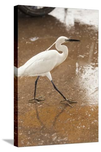 White Egret Walks around the Old Port of Casablanca-Richard Nowitz-Stretched Canvas Print