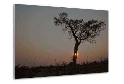 The Sun Setting Behind a Silhouetted Tree-Beverly Joubert-Metal Print