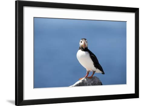 Portrait of an Atlantic Puffin, Fratercula Arctica-Robbie George-Framed Art Print