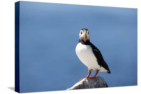 Portrait of an Atlantic Puffin, Fratercula Arctica-Robbie George-Stretched Canvas Print
