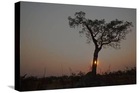 The Sun Setting Behind a Silhouetted Tree-Beverly Joubert-Stretched Canvas Print