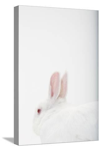 Close Up Portrait of a White Domestic Rabbit, the Kind Used in Laboratory Testing-Rebecca Hale-Stretched Canvas Print