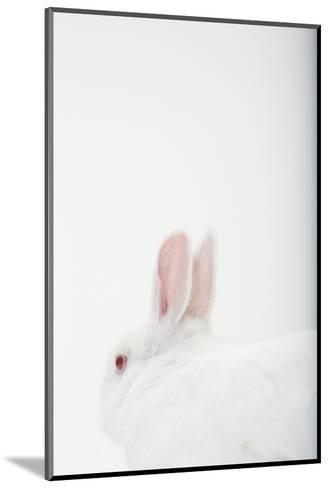 Close Up Portrait of a White Domestic Rabbit, the Kind Used in Laboratory Testing-Rebecca Hale-Mounted Photographic Print