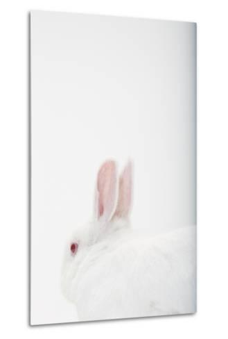 Close Up Portrait of a White Domestic Rabbit, the Kind Used in Laboratory Testing-Rebecca Hale-Metal Print