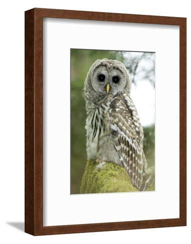 A Juvenile Barred Owl, Strix Varia, Perches on a Tree Branch-Paul Colangelo-Framed Art Print