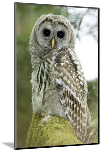 A Juvenile Barred Owl, Strix Varia, Perches on a Tree Branch-Paul Colangelo-Mounted Photographic Print