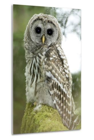 A Juvenile Barred Owl, Strix Varia, Perches on a Tree Branch-Paul Colangelo-Metal Print