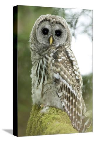 A Juvenile Barred Owl, Strix Varia, Perches on a Tree Branch-Paul Colangelo-Stretched Canvas Print