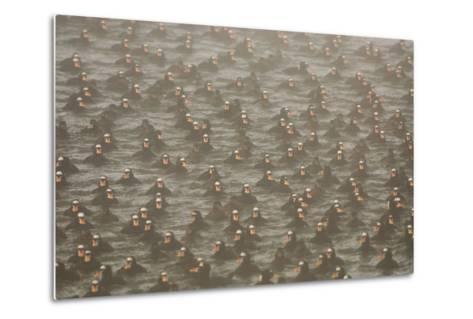 A Flock of Surf Scoter Ducks, Melanitta Perspicillata, in the Mist-Paul Colangelo-Metal Print
