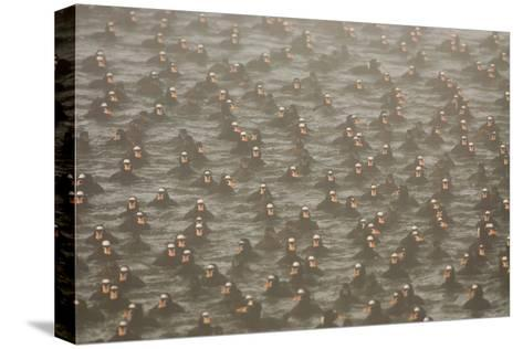 A Flock of Surf Scoter Ducks, Melanitta Perspicillata, in the Mist-Paul Colangelo-Stretched Canvas Print