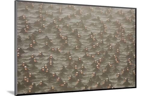 A Flock of Surf Scoter Ducks, Melanitta Perspicillata, in the Mist-Paul Colangelo-Mounted Photographic Print