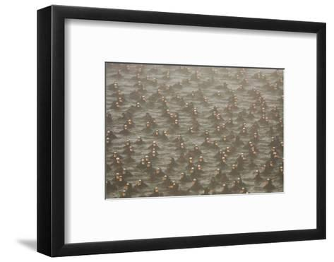 A Flock of Surf Scoter Ducks, Melanitta Perspicillata, in the Mist-Paul Colangelo-Framed Art Print