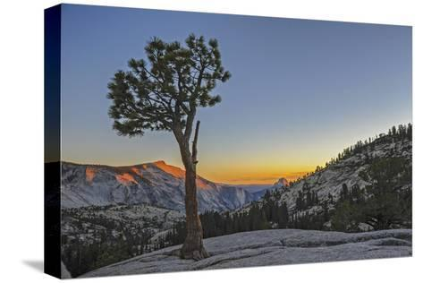 A Weather-Beaten Pine Grows Through Cracks in Glacier-Polished Granite at Olmstead Point-Gordon Wiltsie-Stretched Canvas Print