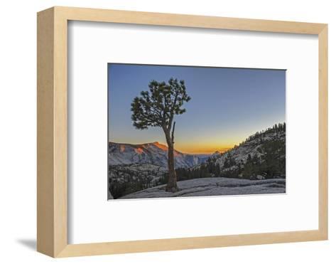 A Weather-Beaten Pine Grows Through Cracks in Glacier-Polished Granite at Olmstead Point-Gordon Wiltsie-Framed Art Print