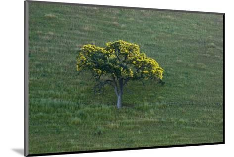 A Tree in the Grassy Hills of Mount Diablo State Park-Paul Colangelo-Mounted Photographic Print