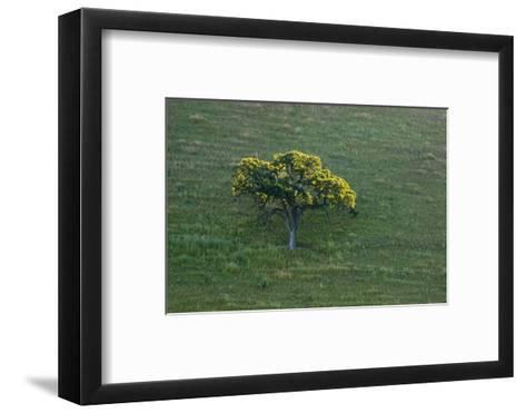 A Tree in the Grassy Hills of Mount Diablo State Park-Paul Colangelo-Framed Art Print