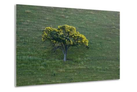 A Tree in the Grassy Hills of Mount Diablo State Park-Paul Colangelo-Metal Print