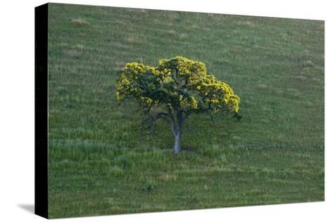 A Tree in the Grassy Hills of Mount Diablo State Park-Paul Colangelo-Stretched Canvas Print