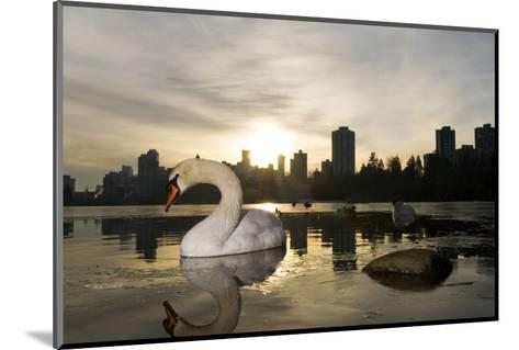 A Mute Swan, Cygnus Olor, in Lost Lagoon in Stanley Park-Paul Colangelo-Mounted Photographic Print