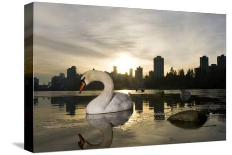 A Mute Swan, Cygnus Olor, in Lost Lagoon in Stanley Park-Paul Colangelo-Stretched Canvas Print